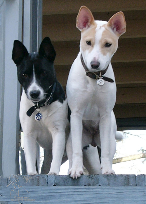 Gems Rat Terriers